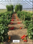 Research Results with High Tunnel Veg Crops Webinar
