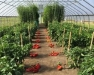 Research Results with High Tunnel Vegetable Crops Webinar