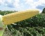 2013 Processing Sweet Corn Advisory Meeting