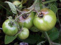 Winter Wednesday Lunch Webinar: Dealing with Late Blight
