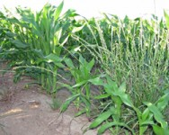 Winter Wednesday Lunch Webinar: Weed Control in Sweet Corn, Pumpkins, and Winter Squash