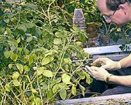 Potato Short Course - Disease Management and Variety Development