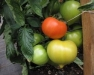 Winter Wednesday Lunch Webinar: Tomato Nutrition in High Tunnels