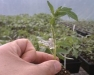 Tomato Health and Grafting Workshop