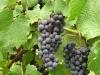Grape Growers' Potluck