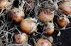 Orange County Onion School