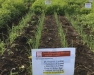 2018 Annual Elba Muck Onion Twilight Meeting Featuring Herbicide Trial Tours