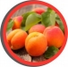 Stone Fruit Pest Management for the 2020 Growing Season