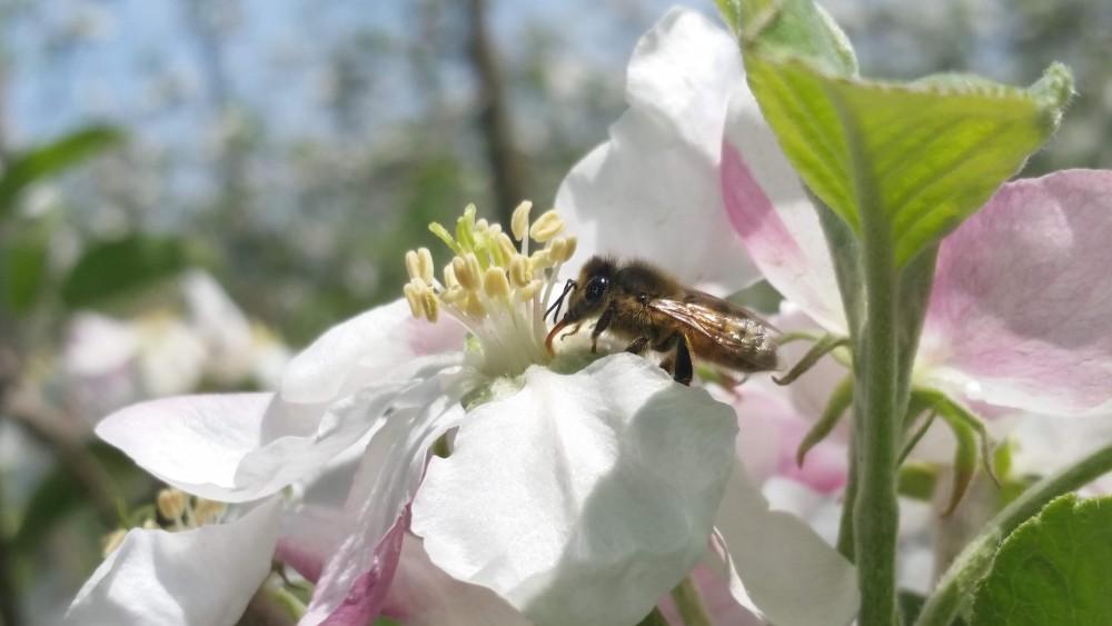 Honeybee feeding on apple blossom photo by E. Tee CCE-LOF