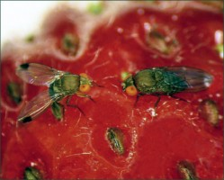 Insecticides to Control Spotted Wing Drosophila