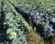 Onion Thrips Damage Among Cabbage Varieties