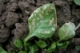 Spinich Leafminer- Identification and Management
