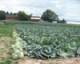 Evaluation of Cabbage for Onion Thrips Tolerance