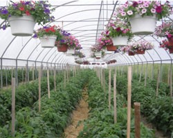 High Tunnel Hanging Baskets, 2010