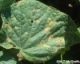 2017 Cucurbit Downy Mildew Management Guidelines
