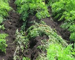 Minimizing Deer Damage in Vegetable Crops
