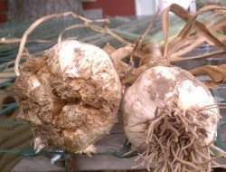 Garlic Bloat Nematode Fact Sheet and Sample Submission Form