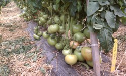 High Tunnel Tomato Trial 2011 (determinate varieties)