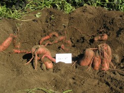 Improving the Quality and Yield of Sweet Potatoes in New York: 2010 Results