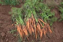 2016 Carrot Variety Trial