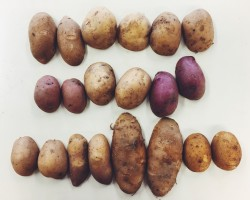 2016 Conventional Potato Variety Trial Results