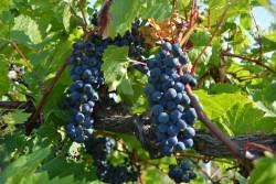 HVRL Vineyard Update