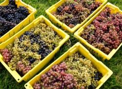 Grapevine Nutrition & Vineyard Nutrient Management