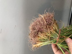 Pink Root on Your Onion Transplants: To Plant or Not to Plant?