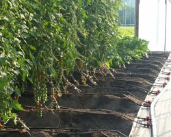 Best Management Practices for Long-Term High Tunnel Soil Sustainability