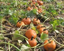 2011  Pumpkin Herbicide Trial