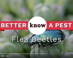 Video: Flea Beetles