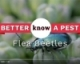 Video: Flea Beetles