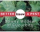 Video: Downy Mildew