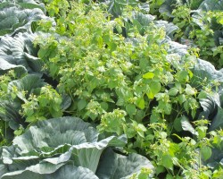 2015 Cabbage Herbicide Chart