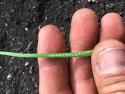 Sidoti Farm Transplanted Onion 5.12.17.JPG