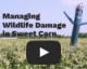 Video: Managing Wildlife Damage in Sweet Corn