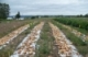 Stop the Rot! - Using Cultural Practices to Manage Bacterial Diseases of Onion