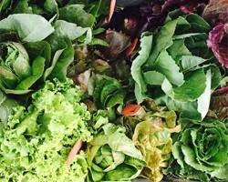 Lettuce Variety Trial, 2017