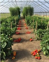 Cherry Tomatoes and Sweet Red Peppers in High Tunnels