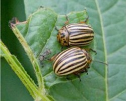 Control of Colorado Potato Beetle & Insecticide Resistance Management