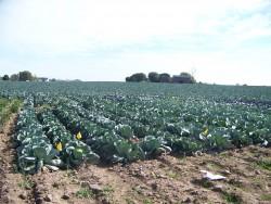 2007-2008 Storage Cabbage Variety Trial