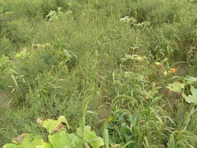 Herbicide Options for Pumpkins and Squash