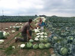 2008 Kraut Cabbage Variety Trial