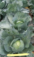 2009-2010 Storage Cabbage Variety Evaluation