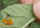 Insecticides Labeled for Colorado Potato Beetle
