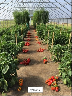 High Tunnel Crop Study - cherry tomatoes, peppers and winter spinach fertility