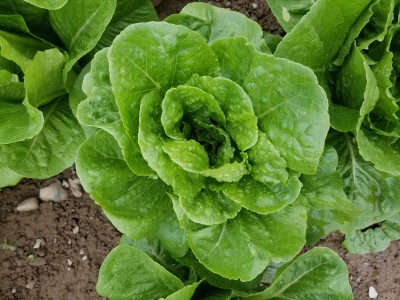 2018 Summer Romaine Lettuce Variety Trial