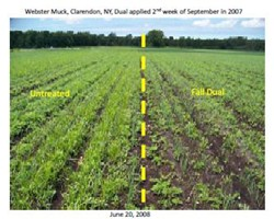 Fall Application of Dual Magnum for Yellow Nutsedge Control in Muck Onions