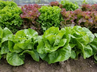 2017 and 2018 Lettuce Variety Trial Results