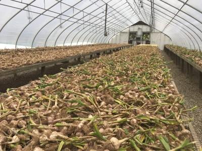 Garlic post-harvest handling year two results